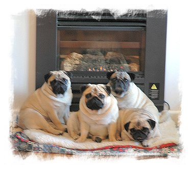 Where else would you expect to find puglets on a cold winters' day?