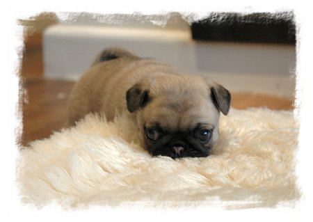 4 week old Pug puppy